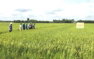 Phân bón Bình Điền tham gia xây dựng mô hình giảm lượng giống, canh tác lúa thông minh