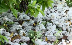 Tây Ninh: Hàng trăm tấn mãng cầu chín rụng, không tiêu thụ được