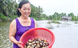 Cà Mau: Con vọp là con gì mà dân thả nuôi trong vuông cùng với tôm sú, cua biển, bắt bán 60.000 đồng/kg?