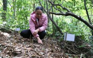 Quảng Trị: Ở nơi này rừng âm u, trồng thứ sâm quý hiếm gì mà cứ phải chăm như con mọn?
