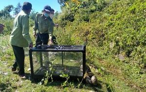 Đà Nẵng: Trăn quý được phát hiện nằm vắt vẻo trên cây giữa phố đã được thả về tự nhiên