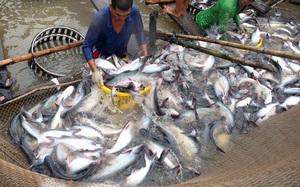 Nhu cầu thị trường vẫn tăng nhưng DN không thể đáp ứng, xuất khẩu cá tra tháng 8 lao dốc