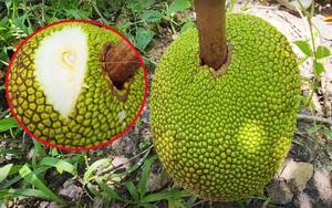Giá mít Thái hôm nay 23/9: Vì sao trái mít bị túm đầu, vựa thu gom dự đoán giá mít sẽ tăng?