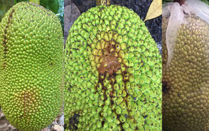 Giá mít Thái hôm nay 24/9: Vì sao trái mít có vết thối, có chữa được không hay phải cắt bỏ?