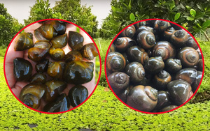 Giá mít Thái hôm nay 26/9: Tận dụng mít dạt, mít xơ đen nuôi ốc bươu đen, bán ốc đắt tiền hơn bán mít