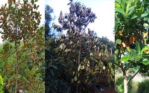 Giá mít Thái hôm nay 27/9: Vì sao cây mít rụng lá nhiều, cách khắc phục ra sao?