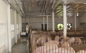 Giá lợn hơi ba miền đồng loạt xuống dưới 50.000 đồng/kg, khủng hoảng thế nông dân ai dám tái đàn?
