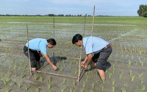 Hiệu quả của việc canh tác lúa thông minh tại ĐBSCL vụ hè thu 2021 trong tình hình mới