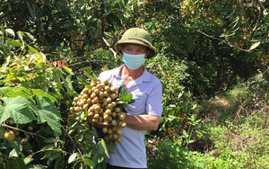 """Sơn La: """"Thủ lĩnh nông dân"""" bản Hua Đán có 25ha đất trồng đủ thứ cây ăn quả, riêng trồng nhãn thu về 2 tỷ/năm"""