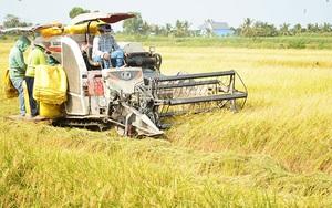 Kiên Giang: Nông dân huyện Gò Quao gặp khó khăn trong việc tiêu thụ lúa Hè Thu