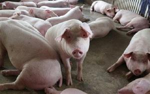 TT-Huế: Xử phạt hợp tác xã chiếm đất rừng để xây dựng trang trại nuôi lợn