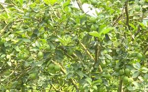 Lâm Đồng: Triển vọng từ mô hình trồng chanh không hạt