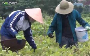 Thời tiết thuận lợi, nông dân Hà Tĩnh thắng lớn vụ đậu hè thu
