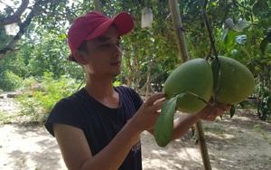 Quảng Nam: Đăng ký nhãn hiệu tập thể cho giống bưởi gì trồng ở Nông Sơn, có phải giống bưởi trụ lông?