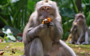 Indonesia: Hàng trăm chú khỉ tụ tập trên mái nhà, trực chờ chộp đồ ăn