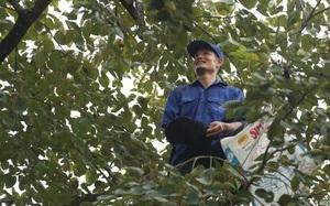Phú Thọ: Loại quả đặc sản ngon nức tiếng, hái xong phải ngâm nước, dịch giã như thế bán vẫn cháy hàng