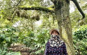 Còn 63.000 tấn sầu riêng treo cây, Đắk Lắk kêu gọi xúc tiến tiêu thụ
