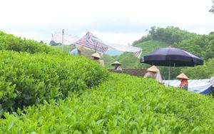 Thái Nguyên: Xây dựng thương hiệu cho cây chè Văn Hán