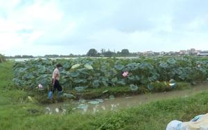 Hải Dương: Hiệu quả từ mô hình trồng sen trên ruộng trũng