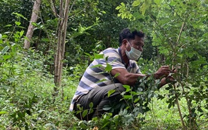 """Gia Lai: Vùng đất lạ này, dân trồng thứ cây quý hiếm, ai ngờ bây giờ được ví như đang giữ """"kho báu"""" trong rừng"""