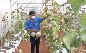 Hà Giang: Anh thanh niên đi đầu trồng dưa lưới cho hiệu quả cao ở Vị Xuyên