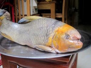 Cá Anh Vũ đầu vàng chục triệu biếu Tết: Chờ cả tháng chưa chắc có