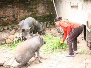 GIá lợn bấp bênh, nuôi lợn rừng giống Thái Lan lại không có mà bán