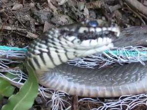 """Rợn người xem """"cao thủ"""" Long An giăng lưới bắt các loại rắn cực độc"""