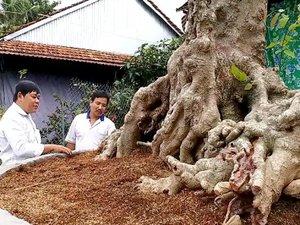 """""""Cụ"""" cây rùa cổ tuổi hơn 10 đời người hiếm có khó tìm ở An Giang"""