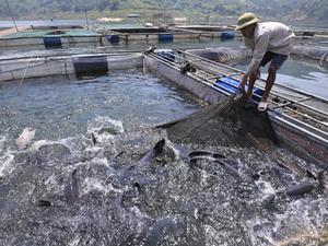 """Nuôi những """"thủy quái"""" sông Đà to như bắp đùi, ăn tốn 1 tỷ đồng/tháng"""