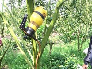 Lợi bất cập hại khi chích kháng sinh vào vườn cam bị bệnh