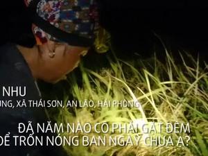 Clip: Tránh nắng nóng, nông dân gặt lúa lúc 3h sáng