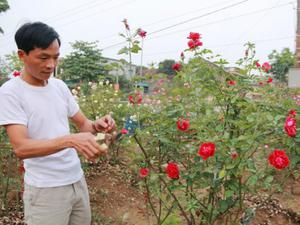 Ròng rã 1 năm trời bỏ gần nửa tỷ đồng để tậu 300 cây hồng cổ
