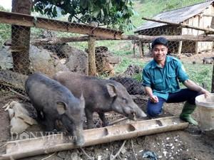Thả rông lợn rừng trong thung lũng, tốn ít thức ăn, bán đắt hàng