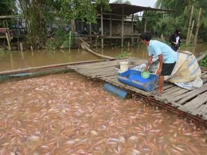 Giá cá điêu hồng lao dốc, nông dân lo mất ăn mất ngủ