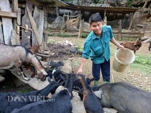 3 trong 1: Bí quyết nuôi dê cho lãi lớn của anh nông dân người Thái