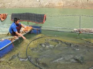 Lạ mà hay: Lấy tỏi trị bệnh cho cá đặc sản, cá lớn nhanh, bán giá tốt