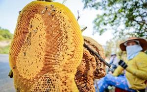 Về Phú Yên, theo chân thợ săn mật ong rừng