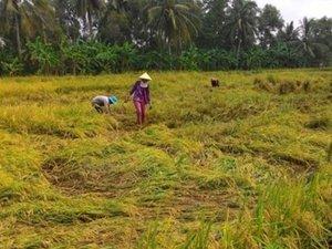 Chưa hết rầu vì giá, nông dân lại não lòng nhìn lúa ngập trong nước