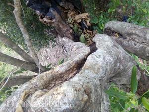 Vối rừng cổ thụ gốc to hai người ôm không hết ở Phú Yên