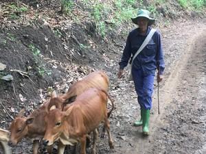 Làm giàu ở nông thôn: Nơi khỉ ho cò gáy, khá giả nhờ nuôi bò thả đồi
