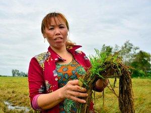Lúa ngập úng, thương lái bẻ kèo, nông dân Kiên Giang lao đao