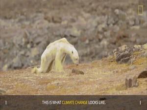 Sự thật gấu Bắc cực gầy trơ xương vì biến đổi khí hậu