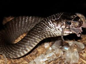 Rụng rời tay chân bắt rắn hổ mang chúa, to bằng bắp tay người lớn ở Yên Bái