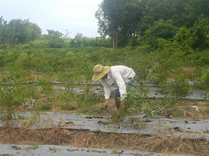 Tây Ninh: Ớt rớt cái bịch, từ 100 ngàn xuống 8 ngàn, bỏ đỏ đồng