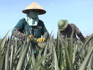 Clip: Nông dân đội nắng thu hoạch dứa trên cánh đồng 5.000 ha