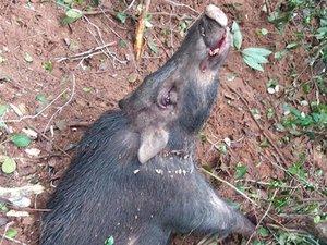 Siêu 'thợ săn' lợn rừng ở Bình Thuận quyết định bỏ nghề vì lí do này