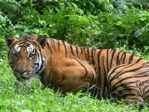Ly kỳ: Võ sĩ đấu vật Hải Phòng dùng giáo giết hổ dữ khổng lồ ăn thịt 72 người