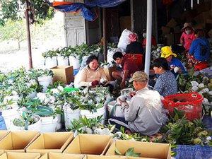 Khép chuỗi giá trị, mãng cầu Tây Ninh kì vọng cho thu nhập nghìn tỉ