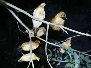 Loài gà có sở thích lạ ở Quảng Trị: Gà Cùa ngày ăn mối, tối ngủ cây